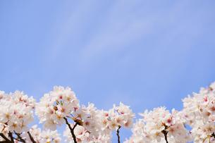 青空に咲く美しい桜の写真素材 [FYI04301052]
