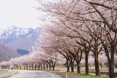 雪山を望む雪国の春、桜並木の写真素材 [FYI04301089]