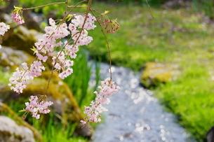 春の小川の写真素材 [FYI04301092]