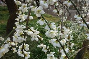 早春に咲いた白い梅の花の写真素材 [FYI04301101]