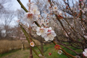 早春に咲いた日本の白い梅の花の写真素材 [FYI04301104]