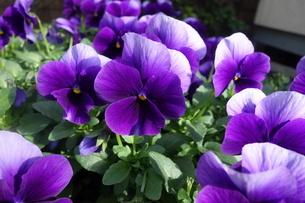 早春に咲いた紫のパンジーの花の写真素材 [FYI04301116]