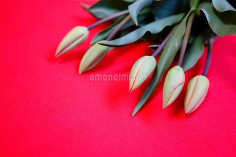 つぼみのチューリップ5本の写真素材 [FYI04301129]