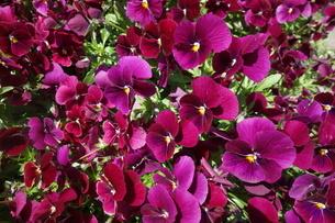 春に咲いた赤いパンジーの花の写真素材 [FYI04301148]
