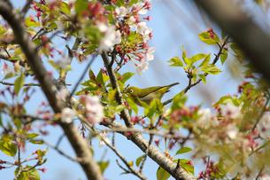 葉桜とメジロの写真素材 [FYI04301180]