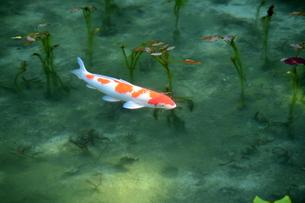 一匹の鯉 岐阜県関市モネの池の写真素材 [FYI04301203]