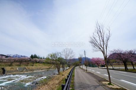 紅山桜やソメイヨシノの桜並木が美しい雪国湯沢の川沿いの散歩道の写真素材 [FYI04301243]