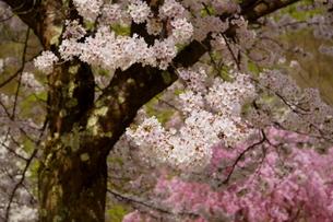 白とピンクと新緑が華やかな春の風景の写真素材 [FYI04301245]