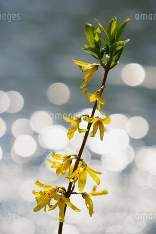 太陽の光がキラキラ反射した池沿いに咲く黄色いれんぎょうの写真素材 [FYI04301247]