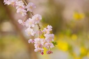 柔らかなピンク色の八重枝垂れ桜とレンギョウの写真素材 [FYI04301249]