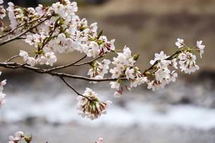 川沿いに桜さく朝の風景の写真素材 [FYI04301250]