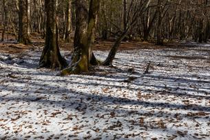 冬間近の原生林(大台ヶ原)の写真素材 [FYI04301266]