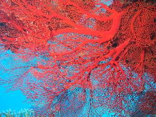 沖縄の海 リュウキュウイソバナの写真素材 [FYI04301376]