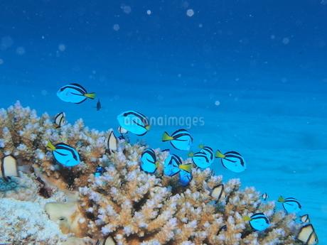沖縄の海 ナンヨウハギの写真素材 [FYI04301378]
