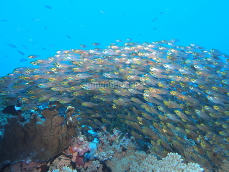 沖縄の海 キンメモドキ群れの写真素材 [FYI04301380]