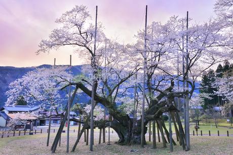 根尾谷薄墨ザクラと朝焼け空の写真素材 [FYI04301452]