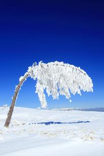 樹氷の重さで曲がった樹木と白馬連峰遠望の写真素材 [FYI04301495]