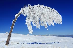 樹氷の重さで曲がった樹木と白馬連峰遠望の写真素材 [FYI04301496]