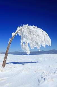 樹氷の重さで曲がった樹木の写真素材 [FYI04301497]