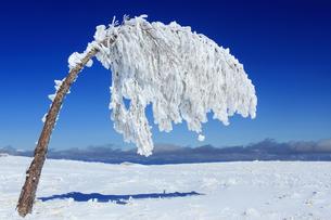 樹氷の重さで曲がった樹木の写真素材 [FYI04301498]