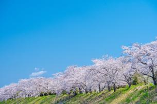 青空と満開の桜並木の写真素材 [FYI04301517]