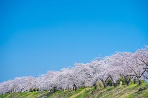 青空と満開の桜並木の写真素材 [FYI04301518]