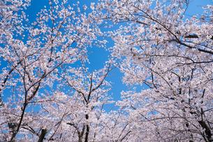 青空と春に咲く満開の桜の写真素材 [FYI04301520]