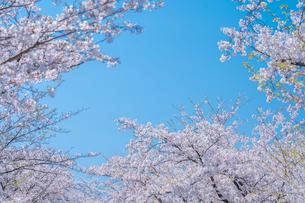 青空と春に咲く満開の桜の写真素材 [FYI04301521]