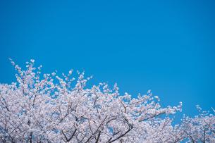 青空と春に咲く満開の桜の写真素材 [FYI04301522]