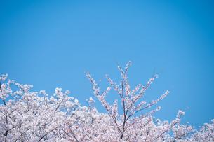 青空と春に咲く満開の桜の写真素材 [FYI04301523]