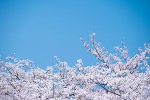 青空と春に咲く満開の桜の写真素材 [FYI04301524]
