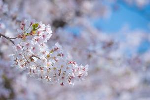春に咲く満開の桜の花びらの写真素材 [FYI04301525]