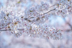 春に咲く満開の桜の花びらの写真素材 [FYI04301526]