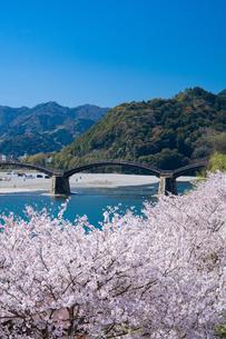 錦帯橋と桜の写真素材 [FYI04301538]