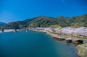 錦帯橋と桜の写真素材 [FYI04301547]