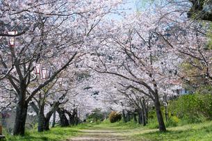 岩国の桜の写真素材 [FYI04301568]