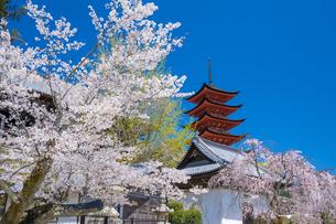 宮島の五重塔と桜の写真素材 [FYI04301569]