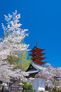宮島の五重塔と桜の写真素材 [FYI04301571]
