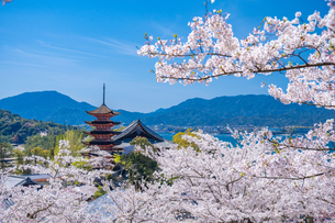 宮島の五重塔と桜の写真素材 [FYI04301573]