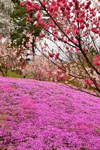 芝桜の写真素材 [FYI04301766]