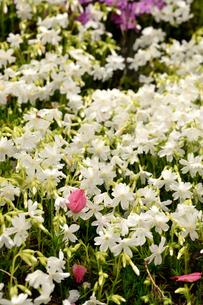芝桜の写真素材 [FYI04301767]