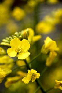 菜の花畑の写真素材 [FYI04301776]