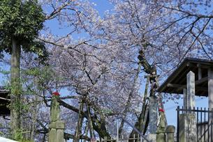 日本五大桜 国指定天然記念物 東光寺の石戸蒲ザクラ 世界でただ1本の品種の写真素材 [FYI04301847]