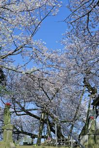 日本五大桜 国指定天然記念物 東光寺の石戸蒲ザクラ 世界でただ1本の品種の写真素材 [FYI04301848]