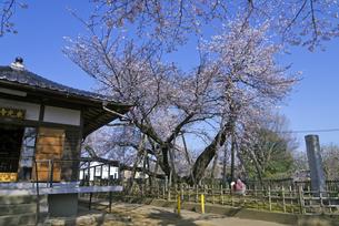 日本五大桜 国指定天然記念物 東光寺の石戸蒲ザクラ 世界でただ1本の品種の写真素材 [FYI04301849]