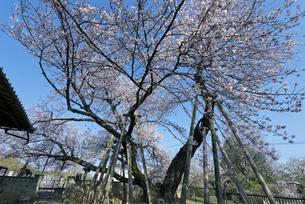 日本五大桜 国指定天然記念物 東光寺の石戸蒲ザクラ 世界でただ1本の品種の写真素材 [FYI04301851]
