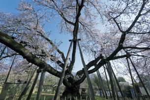 日本五大桜 国指定天然記念物 東光寺の石戸蒲ザクラ 世界でただ1本の品種の写真素材 [FYI04301852]