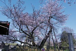 日本五大桜 国指定天然記念物 東光寺の石戸蒲ザクラ 世界でただ1本の品種の写真素材 [FYI04301853]
