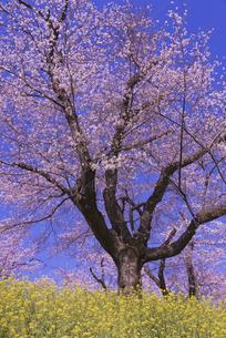 城ヶ谷堤の桜と菜の花の写真素材 [FYI04301854]