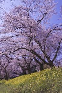 城ヶ谷堤の桜と菜の花の写真素材 [FYI04301855]